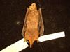 http://mczbase.mcz.harvard.edu/specimen_images/mammalogy/large/BANGS-5588_Lasiurus_seminolus_d.jpg