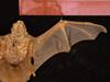 http://mczbase.mcz.harvard.edu/specimen_images/mammalogy/large/BANGS-5595_Lasiurus_borealis_borealis_d3.jpg
