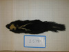 http://mczbase.mcz.harvard.edu/specimen_images/mammalogy/large/BANGS-5783_Mephitis_mephitis_avia_d.jpg
