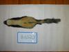 http://mczbase.mcz.harvard.edu/specimen_images/mammalogy/large/BANGS-6527_Mephitis_mephitis_elongata_d.jpg
