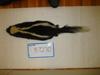 http://mczbase.mcz.harvard.edu/specimen_images/mammalogy/large/BANGS-7270_Mephitis_mephitis_nigra_d.jpg