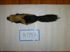 http://mczbase.mcz.harvard.edu/specimen_images/mammalogy/large/BANGS-7737_Mephitis_mephitis_elongata_d.jpg