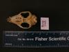 http://mczbase.mcz.harvard.edu/specimen_images/mammalogy/large/BANGS-7749_Marmosa_robinsoni_robinsoni_hv.jpg