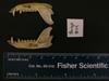 http://mczbase.mcz.harvard.edu/specimen_images/mammalogy/large/BANGS-8114_Caluromys_lanatus_cicur_ml.jpg