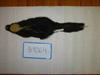 http://mczbase.mcz.harvard.edu/specimen_images/mammalogy/large/BANGS-9064_Mephitis_mephitis_elongata_d.jpg