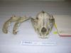 http://mczbase.mcz.harvard.edu/specimen_images/mammalogy/large/BOM-10729_Canis_familiaris_hf.jpg
