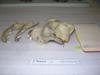 http://mczbase.mcz.harvard.edu/specimen_images/mammalogy/large/BOM-10729_Canis_familiaris_hl.jpg
