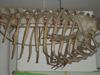 http://mczbase.mcz.harvard.edu/specimen_images/mammalogy/large/BOM-1206_Monodon_monoceras_l.jpg