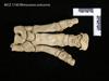 http://mczbase.mcz.harvard.edu/specimen_images/mammalogy/large/BOM-1730_Rhinoceros_unicornis_manus_d.jpg