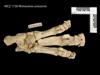 http://mczbase.mcz.harvard.edu/specimen_images/mammalogy/large/BOM-1730_Rhinoceros_unicornis_pes_v.jpg