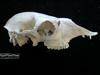 http://mczbase.mcz.harvard.edu/specimen_images/mammalogy/large/BOM-1884_Lama_huanachus_glama_hl.jpg