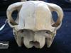 http://mczbase.mcz.harvard.edu/specimen_images/mammalogy/large/BOM-1884_Lama_huanachus_glama_hp.jpg