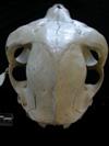 http://mczbase.mcz.harvard.edu/specimen_images/mammalogy/large/BOM-1884_Lama_huanachus_glama_hp2.jpg