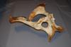 http://mczbase.mcz.harvard.edu/specimen_images/mammalogy/large/BOM-27_Equus_caballus_caballus_pelvis_l.jpg