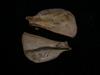 http://mczbase.mcz.harvard.edu/specimen_images/mammalogy/large/BOM-466_Felis_cattus_scap_l.jpg