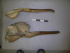 http://mczbase.mcz.harvard.edu/specimen_images/mammalogy/large/BOM-5091_Platanista_gangetica_hl.jpg
