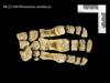 http://mczbase.mcz.harvard.edu/specimen_images/mammalogy/large/BOM-5169_Rhinoceros_sondaicus_manus_d.jpg