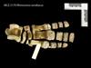 http://mczbase.mcz.harvard.edu/specimen_images/mammalogy/large/BOM-5170_Rhinoceros_sondaicus_manus_d.jpg