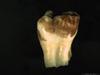 http://mczbase.mcz.harvard.edu/specimen_images/mammalogy/large/BOM-5290_Pongo_pygmaeus_dent3-l.jpg