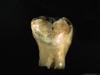 http://mczbase.mcz.harvard.edu/specimen_images/mammalogy/large/BOM-5290_Pongo_pygmaeus_dent3-l3.jpg