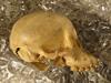 http://mczbase.mcz.harvard.edu/specimen_images/mammalogy/large/BOM-5290_Pongo_pygmaeus_hl2.jpg