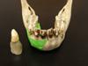 http://mczbase.mcz.harvard.edu/specimen_images/mammalogy/large/BOM-5290_Pongo_pygmaeus_mf.jpg