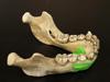 http://mczbase.mcz.harvard.edu/specimen_images/mammalogy/large/BOM-5290_Pongo_pygmaeus_ml2.jpg