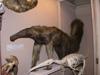 http://mczbase.mcz.harvard.edu/specimen_images/mammalogy/large/BOM-6012_Myrmecophaga_tridactyla_tridactyla_f.jpg
