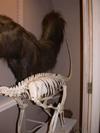 http://mczbase.mcz.harvard.edu/specimen_images/mammalogy/large/BOM-6012_Myrmecophaga_tridactyla_tridactyla_f2.jpg