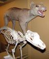 http://mczbase.mcz.harvard.edu/specimen_images/mammalogy/large/BOM-6014_Thylacinus_cynocephalus_l.jpg