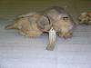 http://mczbase.mcz.harvard.edu/specimen_images/mammalogy/large/BOM-6338_Ovis_aries_hl.jpg
