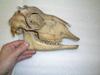 http://mczbase.mcz.harvard.edu/specimen_images/mammalogy/large/BOM-6338_Ovis_aries_hl2.jpg