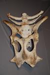 http://mczbase.mcz.harvard.edu/specimen_images/mammalogy/large/BOM-92_Bison_bison_bison_pelvis_d.jpg