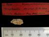 http://mczbase.mcz.harvard.edu/specimen_images/mammalogy/large/BOM-9600_Nesophontes_micrus_hl2.jpg