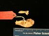 http://mczbase.mcz.harvard.edu/specimen_images/mammalogy/large/mcz22453_galago_demidovii_orinus_skull_lat.jpg