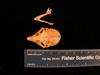 http://mczbase.mcz.harvard.edu/specimen_images/mammalogy/large/mcz26446_galago_demidovii_skull_dors.jpg
