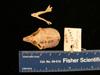 http://mczbase.mcz.harvard.edu/specimen_images/mammalogy/large/mcz26449_galago_demidovii_skull_dors.jpg
