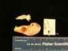 http://mczbase.mcz.harvard.edu/specimen_images/mammalogy/large/mcz26449_galago_demidovii_skull_lat.jpg
