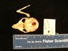 http://mczbase.mcz.harvard.edu/specimen_images/mammalogy/large/mcz26449_galago_demidovii_skull_vent.jpg
