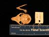 http://mczbase.mcz.harvard.edu/specimen_images/mammalogy/large/mcz26451_galago_demidovii_skull_vent.jpg